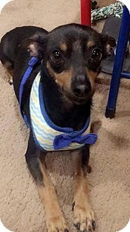 Miniature Pinscher/Chihuahua Mix Dog for adoption in Phoenix, Arizona - Rudy
