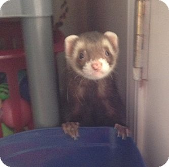 Ferret for adoption in Navarre, Florida - Toby