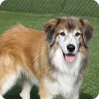 Collie Mix Dog for adoption in Columbia, Illinois - McLintock