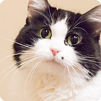 Adopt A Pet :: Cindy Crawford - Chicago, IL