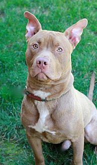 Labrador Retriever Mix Dog for adoption in Brookhaven, New York - Junior