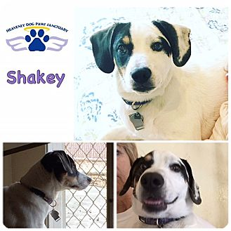 Springer Spaniel/Clumber Spaniel Mix Dog for adoption in Folsom, Louisiana - Shakey