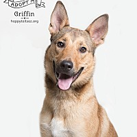 Adopt A Pet :: Griffin - Chandler, AZ