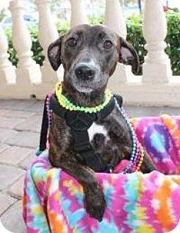 Labrador Retriever Mix Dog for adoption in New Smyrna Beach, Florida - Hope**Handicap**