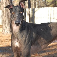 Greyhound Dog for adoption in Cherry Hill, New Jersey - Ponda's Outcast