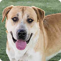 Labrador Retriever Mix Dog for adoption in Agoura, California - Tate