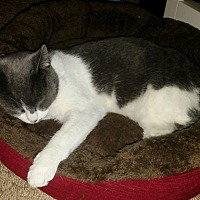 Domestic Shorthair Cat for adoption in Linden, Michigan - Key