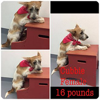 Fox Terrier (Wirehaired)/Miniature Schnauzer Mix Puppy for adoption in Hearne, Texas - Cubbie
