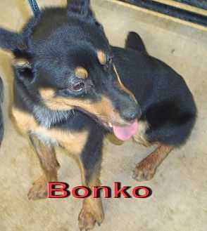 Chihuahua Mix Dog for adoption in Coleman, Texas - Bonko