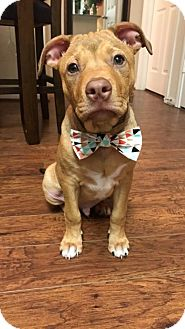 Pit Bull Terrier/Labrador Retriever Mix Puppy for adoption in Houston, Texas - Wade