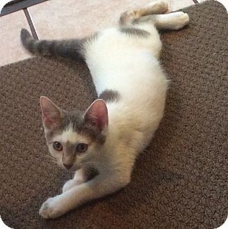 Domestic Shorthair Kitten for adoption in Mt Pleasant, Pennsylvania - London