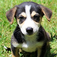 Beagle/Shepherd (Unknown Type) Mix Puppy for adoption in Southbury, Connecticut - Butterbean ~ meet me!