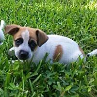 Adopt A Pet :: Jerry - Ft. Lauderdale, FL