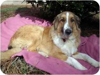 Collie Mix Dog for adoption in Mobile, Alabama - Dusty