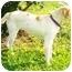 Photo 3 - Labrador Retriever/Australian Cattle Dog Mix Dog for adoption in Latrobe, Pennsylvania - Brady