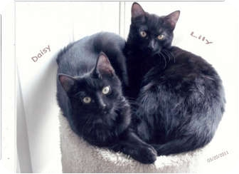 Domestic Shorthair Cat for adoption in Sheboygan, Wisconsin - Lily and Daisy