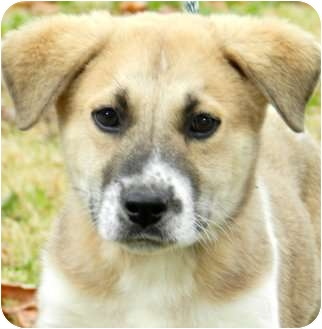 Labrador Retriever/Akita Mix Puppy for adoption in Wakefield, Rhode Island - BROCK(LOOK AT THIS CUTIE!!!)