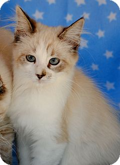 Siamese Kitten for adoption in Palmdale, California - Pippin