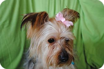 Yorkie, Yorkshire Terrier Dog for adoption in Plainfield, Illinois - Rosa