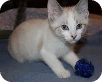 Snowshoe Kitten for adoption in Staunton, Virginia - Cappucino ($200)