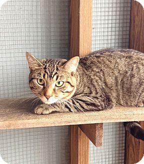 Domestic Shorthair Cat for adoption in Greensburg, Pennsylvania - Darwin