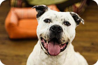 Boxer/Terrier (Unknown Type, Medium) Mix Dog for adoption in Lake Odessa, Michigan - Chancey