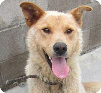 Labrador Retriever/Shepherd (Unknown Type) Mix Dog for adoption in Lloydminster, Alberta - Nathaniel