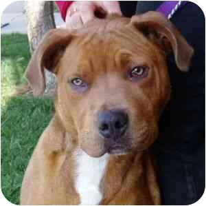 Rhodesian Ridgeback/American Pit Bull Terrier Mix Puppy for adoption in Berkeley, California - Banana Head