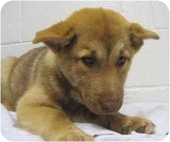 Husky/Chow Chow Mix Puppy for adoption in Campbellsville, Kentucky - Rose