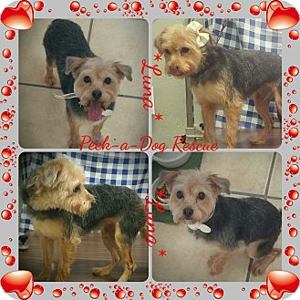 Yorkie, Yorkshire Terrier/Terrier (Unknown Type, Small) Mix Dog for adoption in South Gate, California - Luna