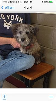Poodle (Miniature)/Westie, West Highland White Terrier Mix Dog for adoption in Hazard, Kentucky - Harley