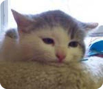 Domestic Mediumhair Kitten for adoption in Newburgh, Indiana - 2 kittens med hair