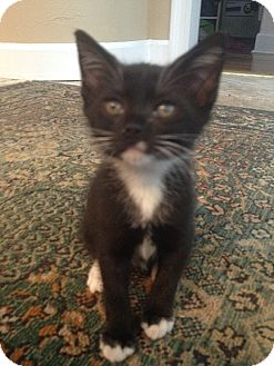 Domestic Shorthair Kitten for adoption in Tampa, Florida - Coco