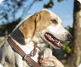 Treeing Walker Coonhound Puppy for adoption in Homestead, Florida - Austin