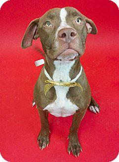 Pit Bull Terrier/Boxer Mix Dog for adoption in Phoenix, Arizona - Mariah