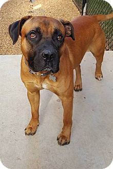 Bullmastiff/Boxer Mix Dog for adoption in Plainfield, Connecticut - ODIN