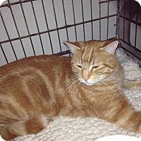 Adopt A Pet :: Mango - Alamo, CA