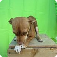 Adopt A Pet :: Pomegranate - Shawnee Mission, KS