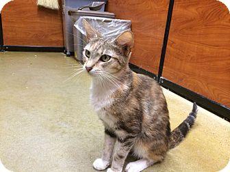 Domestic Shorthair Cat for adoption in North Wilkesboro, North Carolina - Katniss