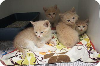 Domestic Shorthair Kitten for adoption in Henderson, North Carolina - Milk Kittens
