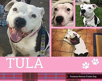 Bulldog/American Pit Bull Terrier Mix Dog for adoption in Channahon, Illinois - Tula