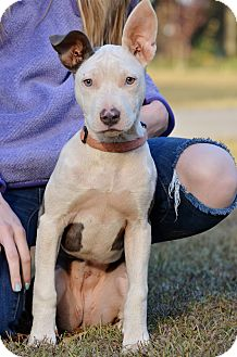 Pit Bull Terrier Puppy for adoption in Washington, Georgia - Charlotte