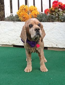 Cocker Spaniel Dog for adoption in Santa Barbara, California - Jimmy