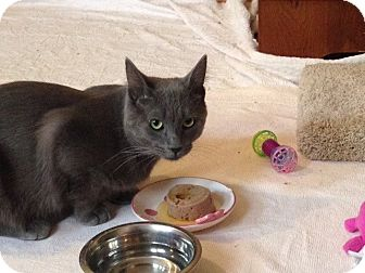 Domestic Shorthair Cat for adoption in Bloomington, Minnesota - Huey