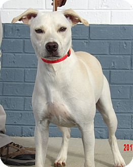 Labrador Retriever/Canaan Dog Mix Dog for adoption in Williamsport, Maryland - Snowbell(30 lb) Fun Family Pet