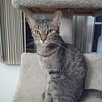 Domestic Shorthair Kitten for adoption in Grand Ledge, Michigan - Urania