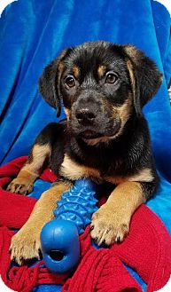Labrador Retriever/German Shepherd Dog Mix Puppy for adoption in Elkton, Maryland - Ace