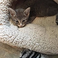 American Shorthair Cat for adoption in Toms River, New Jersey - Albus