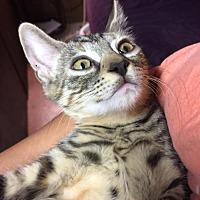 Adopt A Pet :: Xenon - Hampton, VA
