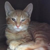 Domestic Shorthair/Domestic Shorthair Mix Cat for adoption in Clarksdale, Mississippi - Michael